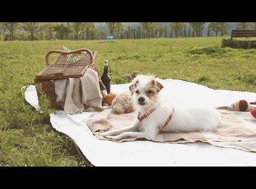 dog on a white picnic blanket