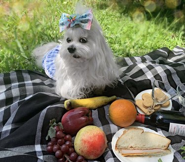 dog on a picnic blanket with fruit