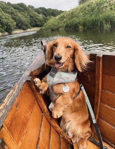 dog inside wooden boat