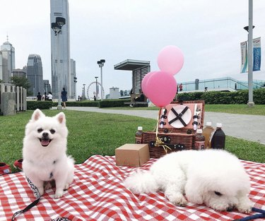 two white dogs on red picnic blanket