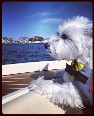 dog looking out from in a boat