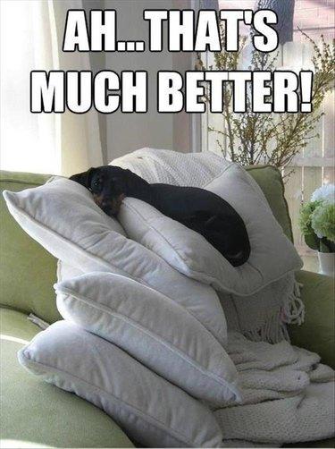 Dog sitting on 5 pillows!