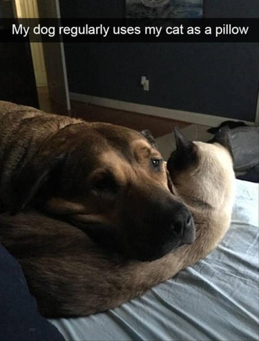 Dog using cat as a pillow. Very sweet.