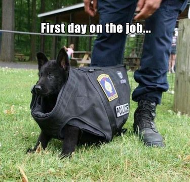 Police puppy in a big police dog's vest.