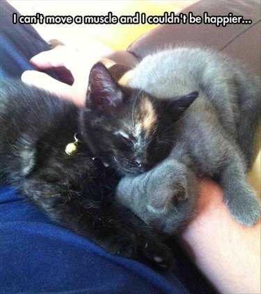 Two sleeping kittens in a lap