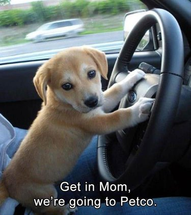 Cute puppy with paws on the steering wheel