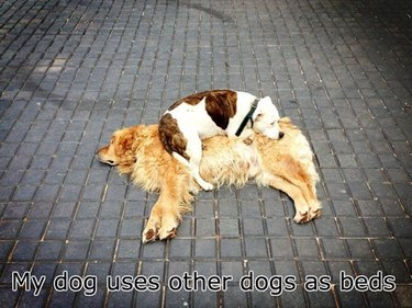 Dog laying on top of other dog.