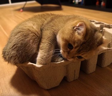 Kitten curled in egg carton.