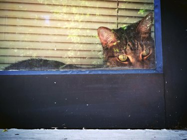 Cat looking sneakily out a window.