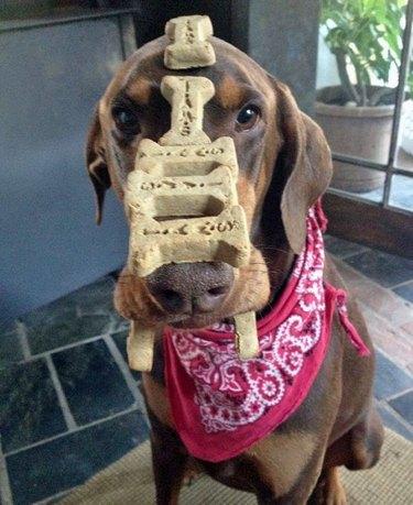 Dog with treats balanced on its head.