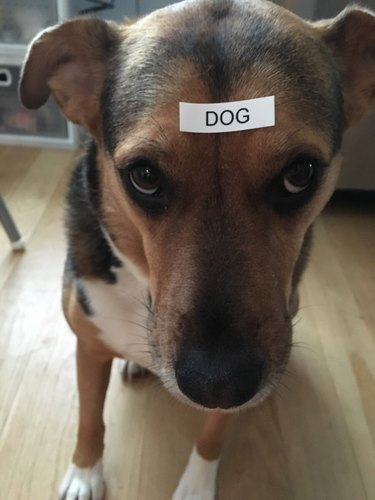 """Dog with a label on its head that says """"dog"""""""