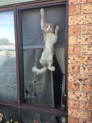 Cat climbing a window screen.