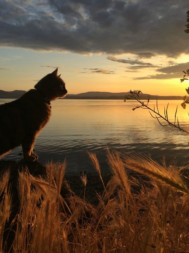 Cat at sunset