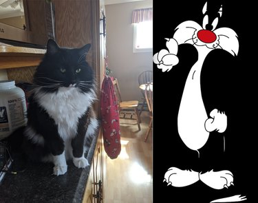 tuxedo cat named Sylvester after Looney Tunes character