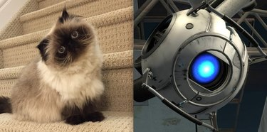 cat named Wheatley after robot from Portal video game