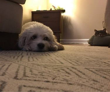 Dog is sad because a cat stole her bed