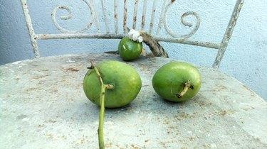 Cat stealing a mango