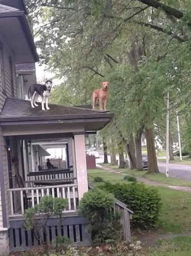 Two dogs standing on roof.