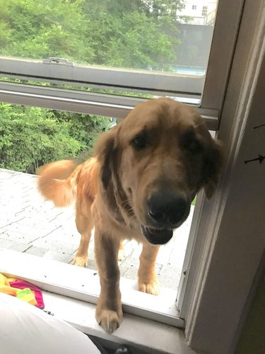Dog coming inside through window from roof.