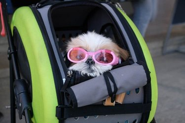 sunglasses doggo in stroller