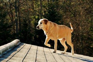 Dog walking on roof.