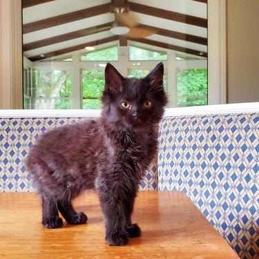 kitten on kitchen table