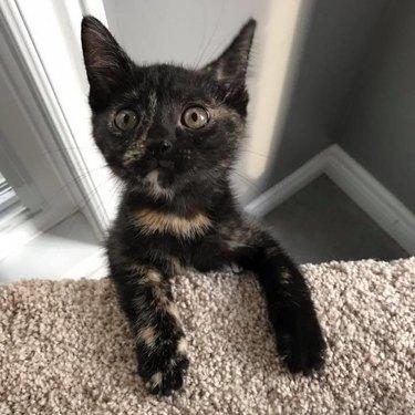 kitten on cat tower
