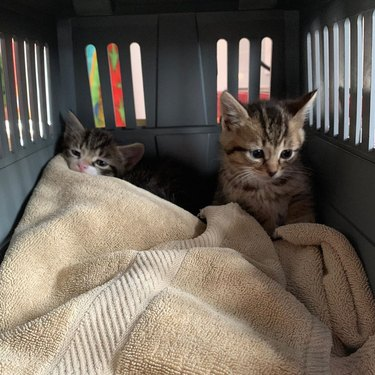 foster kittens in crate