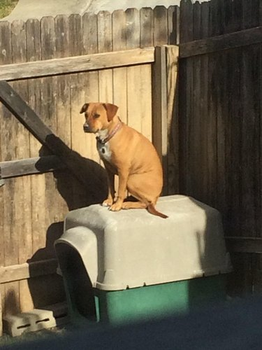 Dog sitting on roof of doghouse.