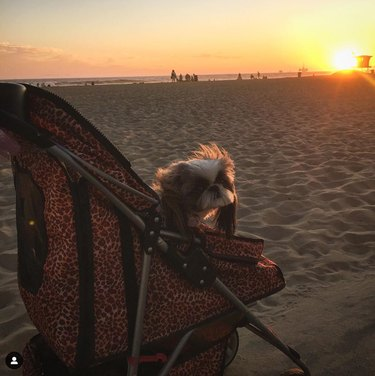 cute dog in a stroller on the beach at sunset
