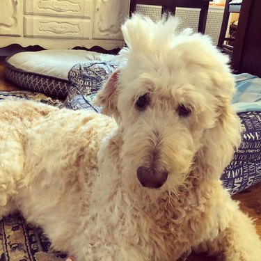 sleepy labradoodle with puffy hair