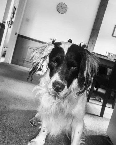 sleepy dog photographed in black & white