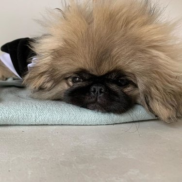 drowsy pekingese dog
