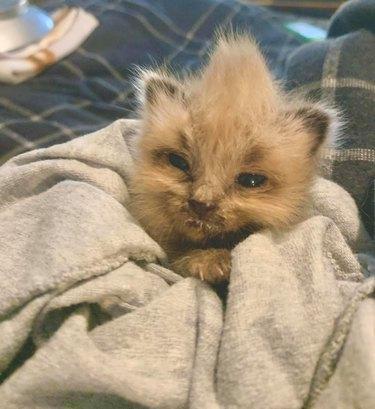 kitten in blanket with mohawk