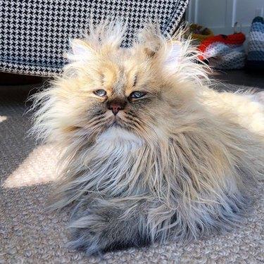 barnaby the sleepy persian cat