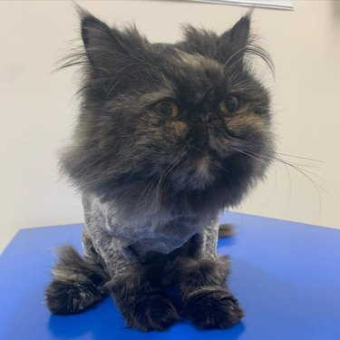 Maine coon cat with lion hair cat
