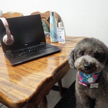 dog in front of laptop with headphones