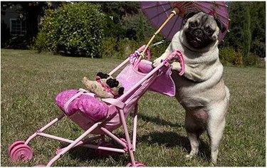 dog pushes stroller