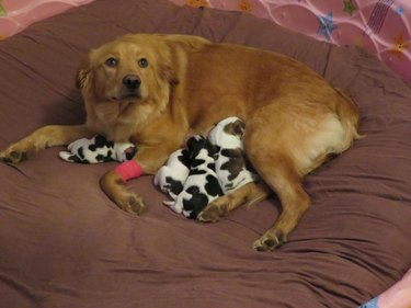 Hed: Confused Golden Retriever Gives Birth to Litter of Baby Cow Puppies