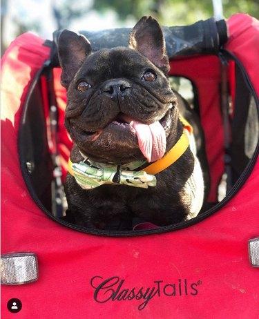 classy puppo in a stroller