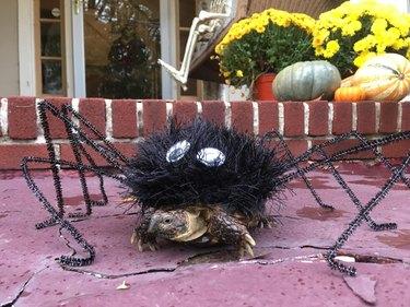 tortoise in spider costume