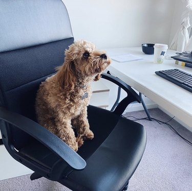 dog sitting in office chair