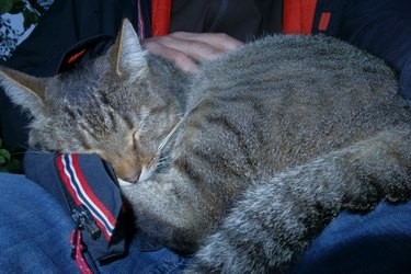 Cat super asleep on a lap