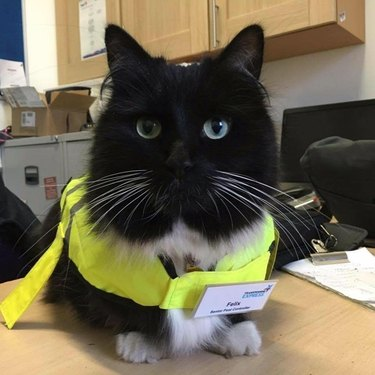 "Cat in yellow safety vest with badge that says ""Senior Pest Controller"""