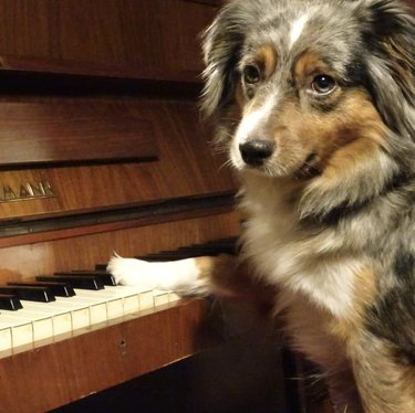 dog with single paw on piano keys