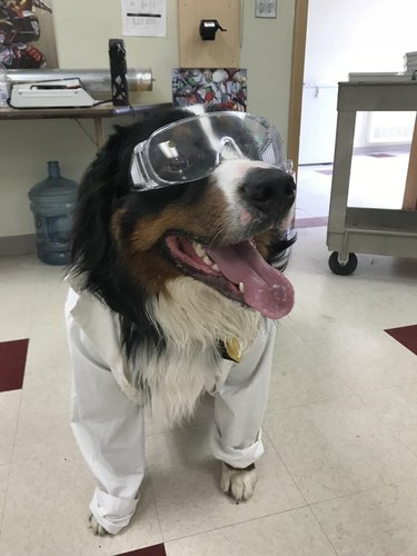 Dog in lab coat and safety goggles.