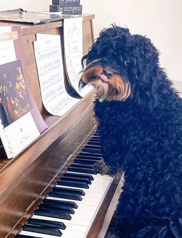 a shaggy dog with paws on piano keys