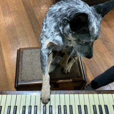 dog with paw on piano keys