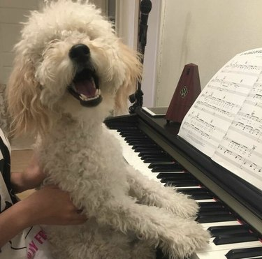 dog looking like he's singing along to the piano