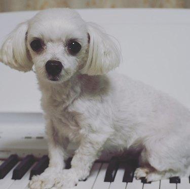little white dog sitting on piano keys